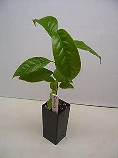 Guayusa Plants