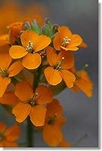 50+ Orange Siberian WallFlower/ERYSIMUM ALLIONII/Biennial/Fragrant