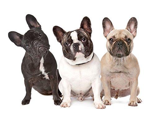 Bilderdepot24 Fototapete selbstklebend DREI französische Bulldoggen - 130x100 cm
