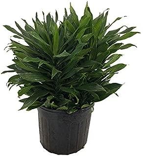 PlantVine Dracaena deremensis 'Janet Craig Compacta' - Medium, Bush - 6 Inch Pot (1 Gallon), Live Indoor Plant