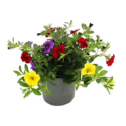 Zauberglöckchen - Minihängepetunie - Calibrachoa - 12cm Topf - Set mit 3 Pflanzen - bunt (mehrfarbig)
