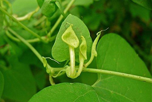 Asklepios-seeds® - 50 Samen Aristolochia contorda bunge, Pfeifenwinde