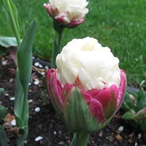 6 Pezzi Bulbi Di Tulipano Bulbi Da Fiore Piante Ornamentali Da Giardino Gelato Raro Tulipani Piacere Visivo Unico Perenni Esotiche