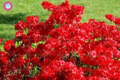 RETS 100pcs Sims Azalea Rhododendron simsii Bonsai-Baum Blume Staude Strauch Pflanzen Haus Garten Evergreen: 4