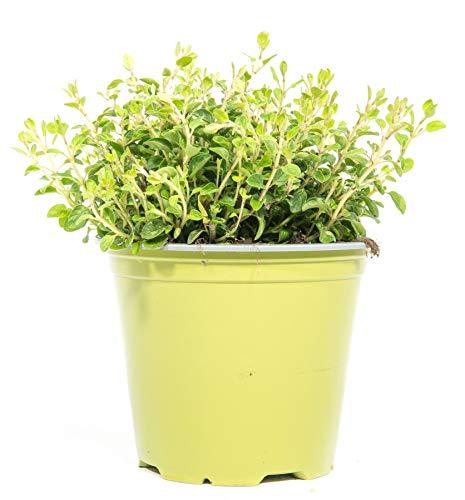 mgc24 Oregano, echte frische Kräuter Pflanzen im 14cm Topf, Origanum vulgare, Höhe ca. 10cm