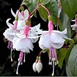 Fuchsia Seeds 10+ Graines de fleurs vivaces Fleurs en pot DIY Planting Bell Flower, DIY Planting, Bell Flower, Lantern Begonia, Fuchsia Lantern Seeds (White)