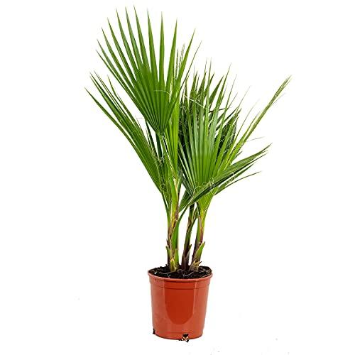 Washingtonia 'Robusta' | Mexikanische Washingtonpalme - Freilandpflanze im Anzuchttopf ⌀17 cm - ↕65-75 cm
