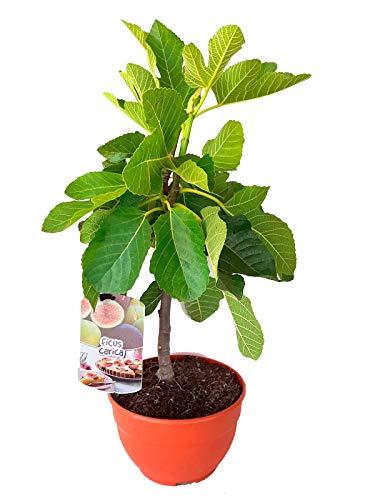 Higuera (Ficus Carica) Árbol frutal. Perfecto para huerto urbano, prebonsai, bonsai o para plantar en exterior. Vivero especializado en plantas del mediterráneo
