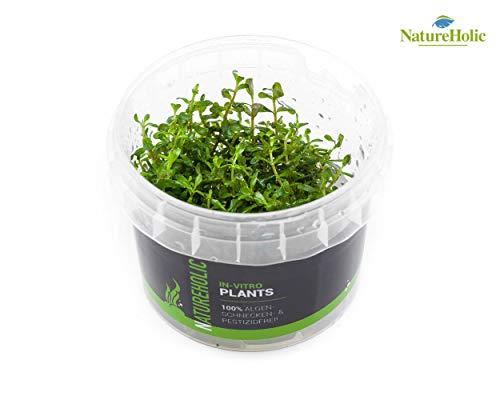 Rotala sp. Ceylon - NatureHolic In-Vitro Aquarium Pflanze