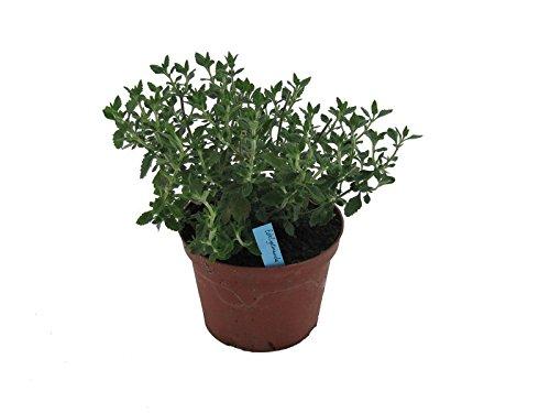 Edel Gamander Pflanze, Frische Kräuter Pflanze aus Nachhaltigem Anbau