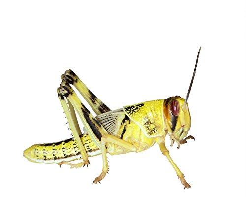 Heuschrecken 25 subadulte Wüstenheuschrecke Futterinsekten Reptilienfutter