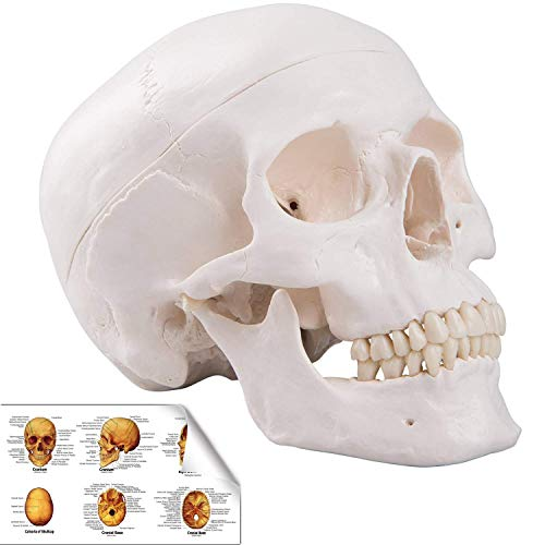RONTEN Human Skull Model, Life Size Replica Medical Anatomy Anatomical Adult Model with Removable Skull Cap and Articulated Mandible, Full Set of Teeth,7.2x4.2x4.95in