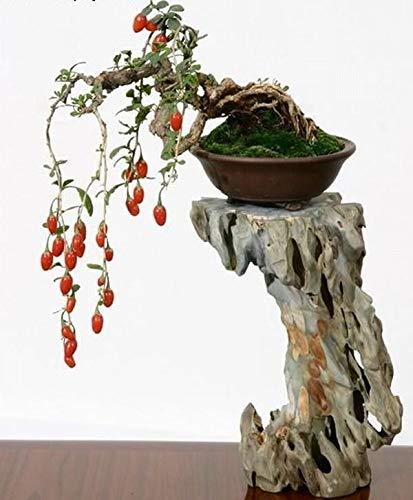 Bonsai Tree Goji Berry Seeds to Grow - 10 Seeds - Grow an Exotic Fruit Bearing Bonsai Tree