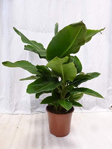 [Palmenlager] Banane - Musa Dwarf cavendish 110 cm - Topf 27cm Ø - Zimmerbanane Zimmerpflanze