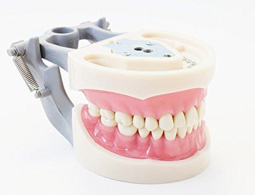 Dental Typodont Model 200 Type Kilgore Nissin Removable Teeth
