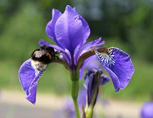 2er-Set - Iris laevigata - asiatische Sumpfschwertlilie - Sumpfiris, blau - Wasserpflanzen Wolff
