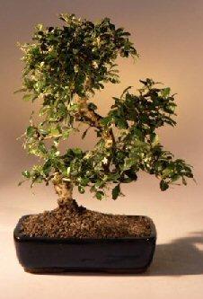 Bonsai Boy e2791 Fukien Tea Flowering Bonsai Tree with Curved Trunk Style - Ehretia Microphylla - Extra Large