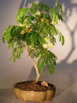 Bonsai Boy's Flowering Brazilian Raintree Bonsai Tree - Medium pithecellobium tortum