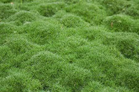 Semences à gazon - 100 graines de Moss Irish - Heirloom Seeds couverture végétale permanente du sol Graines Moss
