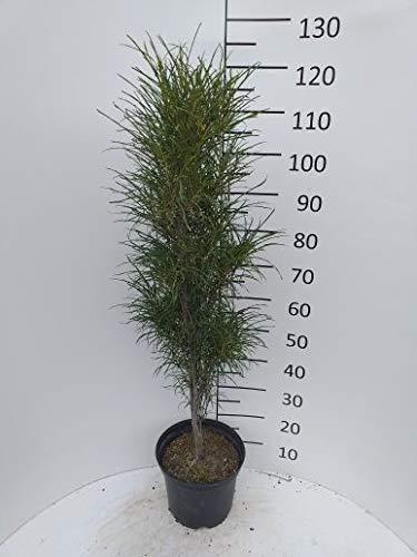 Späth Farnblättriger Faulbaum 'Fine Line' Zierstrauch winterhart Gartenpflanze Bienen 1 Pflanze Container C 7,5