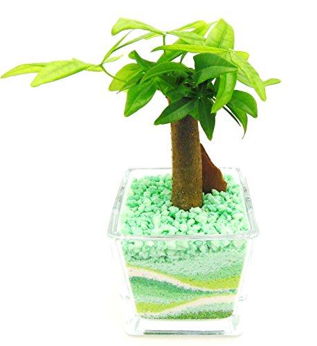 ミニ観葉 植物 パキラ ハイドロカルチャー ガラス植え S グリーン お手入れ簡単 お祝い ギフトに最適 室内で安心な土を使わない水耕栽培 お部屋にグリーンを置いてきれいな空気でリラックス