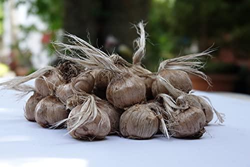 Bulbi di Zafferano ITALIANO (Crocus sativus) - DISPONIBILITA' IMMEDIATA - 10/+ cm di circonferenza - Produzione Italiana Naturale senza uso di prodotti chimici (20)