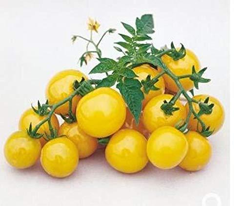sun sugar tomato - 9