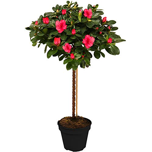Azalea Japonica Tree | Trees for Small Gardens Border Patio Potted Plants | Straight Lollipop Stem Trees | Various Colours - Red, White, Pink, Orange & Purple | 2-3ft (Red)