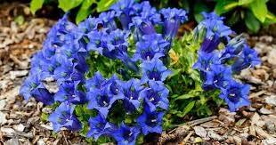 Haute qualité bonsaïs 100 Pcs Largeleaf gentiane Graines vivace Fleur bleue Graine Blooming Plantes Diy jardin Ménage 4