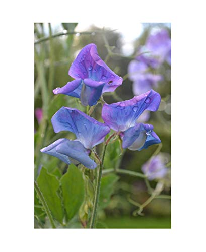 PREMIER SEEDS DIRECT Sweet Pea - Spencer - Duchy of Cambridge - 30 Finest Seeds