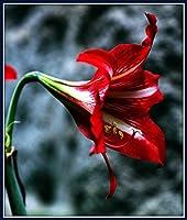アマリリスの屋内植栽*大きな花は非常に明る,優雅な姿勢,豪華な良い探しかなり開花花歴史的な希少種,周囲12-16センチ