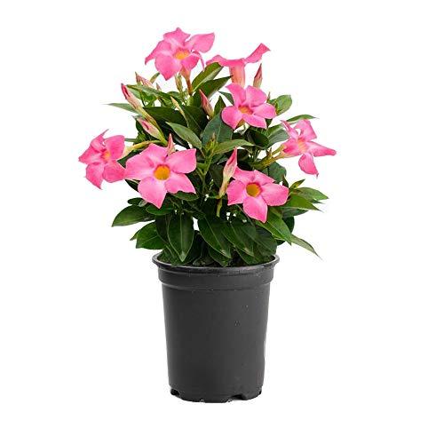 AMERICAN PLANT EXCHANGE Dipladenia Mandevilla Live Plant, 6' Pot, Pink