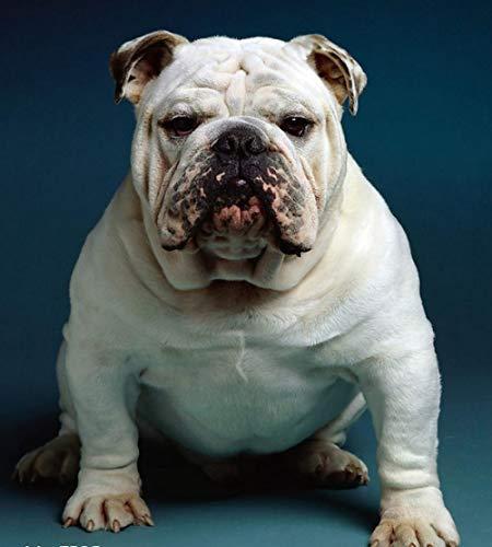 Animal famoso pintura gordo doodle bulldog perro animal paisaje diy digital pintura al óleo regalo para decoración del hogar 40 * 50 cm