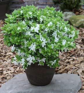 Japanische Azalee Diamant Weiß 25-30cm - Rhododendron obtusum - Zwerg Alpenrose