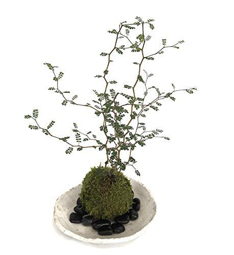 メルヘンの木としても知られている個性的な植物【ソフォラ・ミクロフィラの苔玉・楕円白粉引器セット】 (敷石の色(黒石))