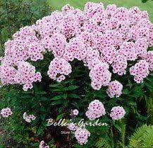 100pcs Multi-couleurs Montagne Graines Phlox Hardy Plantes Linanthus Grandiflorus Graines de fleurs exotiques Fleurs ornementales Bonsai Graines 02