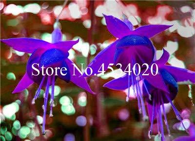 SVI frais 100 pcs graines Fuchsia Lantern Fleurs pour la plantation bleu violet