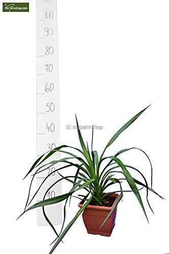 Graue Palmlilie - Yucca Aloifolia - 35-45cm Topf 14x14cm