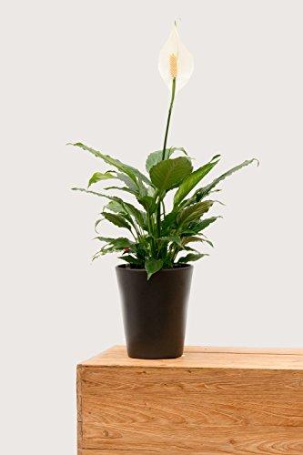 Evrgreen Einblatt White Queen 0 inkl. Topf in anthrazit blühende unempfindliche Zimmerpflanze in Hydrokultur für Schatten Spathiphyllum 1 Pflanze