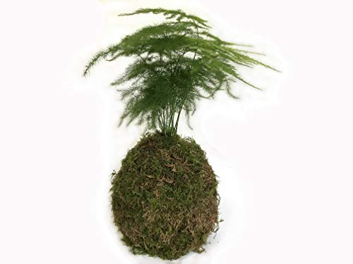 Asparagus fern in sheet moss