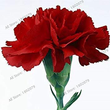 VISTARIC 17: Heißer Verkauf! 100 PC/Beutel Bonsai Calla-Lilien-Samen Indoor-Blumensamen Schöne Garten Dekoration Yard Pflanze Blumentöpfe Pflanz 17