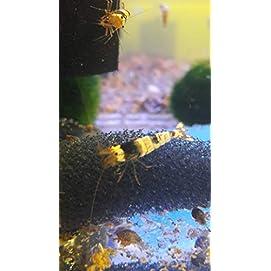 Black Bee Garnele - Schwarz-Weiße Bienengarnele – Caridina logemanni
