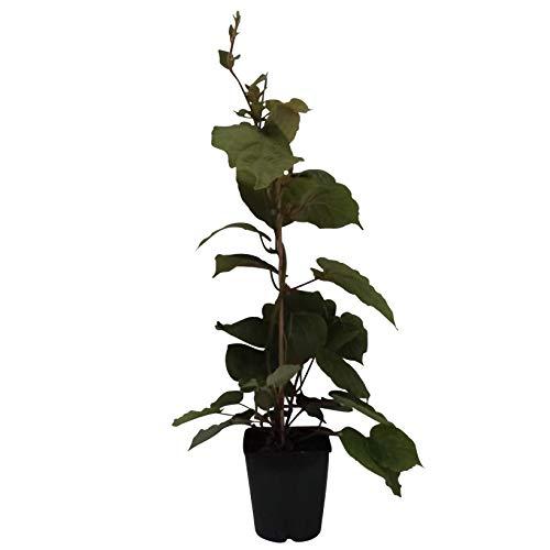 Müllers Grüner Garten Shop Hayward, weibliche Kiwipflanze 40-60 cm groß und gestäbt, kräftige Kiwi im 2-3,5 Liter Topf