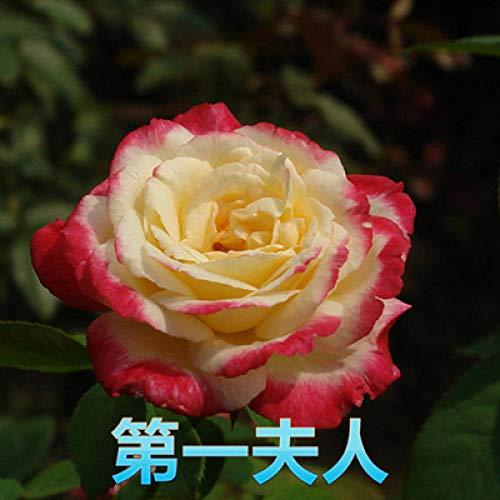 Aerlan pour Le Jardin Graines,Graines De Printemps Vivaces,Four Seasons Flower Balcony Indoor Potted Rose Seed-60pcs_G