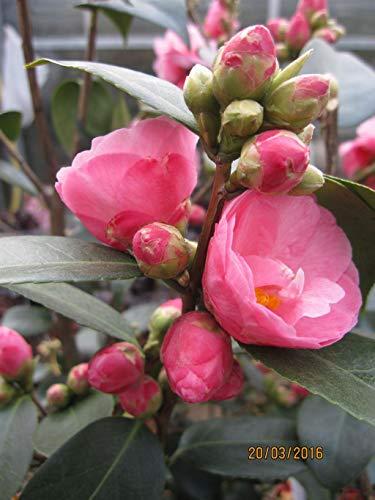 Japanische Kamelie Spring Festival - Camellia cuspidata Spring Festival