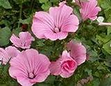 Semi ad alto tasso di germinazione La confezione contiene 1 set di semi L'immagine è solo per riferimento Semi organici: bulk di sementi lavatera tremestris () da the dirty giardiniere tramite farmerly