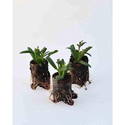 Kräuterpflanzen - Ysop - Blues/Hyssopus officinalis - 3 Pflanzen im Wurzelballen