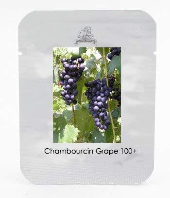 1 Professional Pack, 100 graines / paquet, Chambourcin pourpre doux de raisin semences hybrides grandes Vigoureux Hardy Plants # NF465