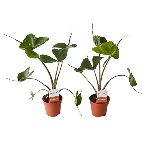Zimmerpflanzen von Botanicly – 2 × Pfeilblatt – Höhe: 45 cm – Alocasia Stingray