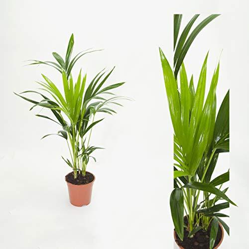 Inter Flower -Howea forsteriana 90cm +/- Kentia Palme Zimmerpflanze Kentiapalme Zimmerpalme
